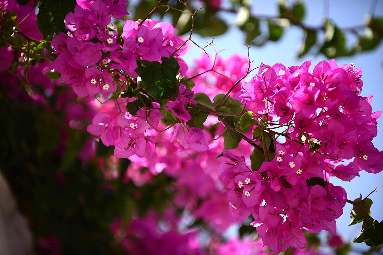 pink-flowers-folegandros-islang-kiklades-greece